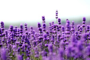 lavender in cosmetics
